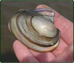 fragile papershell mussel