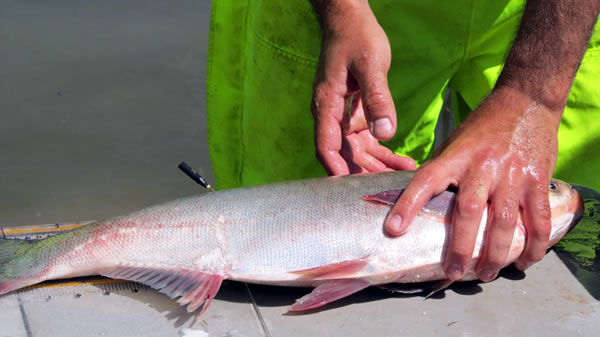 Figure 4. A Silver Carp tagged with an acoustic transmitter (black tag located on the fish's back) to monitor movement in the field. Fish were monitored in response to the recording of a boat motor.