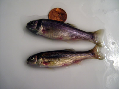 Adult fathead minnows
