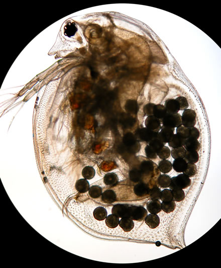 Adult Daphnia With Eggs As Seen Under A Microscope