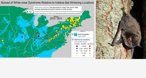 Infection by White-nose Syndrome is likely to Extirpate the Endangered Indiana Bat over major portions of its current range