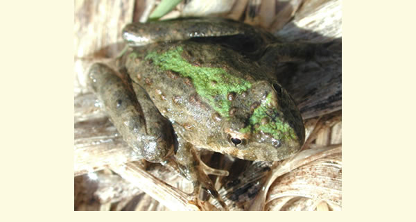 The Amphibian Research and Monitoring Initiative (ARMI) assesses the health, status, and trends of endangered, threatened and stable populations.