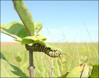Monarch Caterpillar in North Central Iowa (photo Mark Roth)