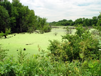 Blanchard's cricket frog habitat, Pool 14, Upper Mississippi River
