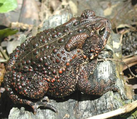 ARMI - eastern American toad