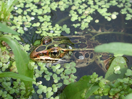 northern leopard frog (USGS)