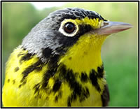Canada warbler. Courtesy of the U.S. Geological Survey.
