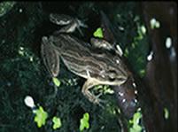 Western Chorus Frog (Photo by Allen Sheldon)