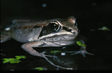 Wood Frog (photo by Allen Sheldon)