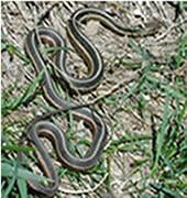 Common Garter Snake (Photo by Shane Jones)