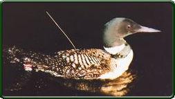 Radiomarked adult common loon