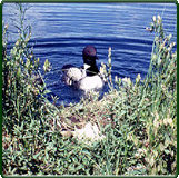 Adult common loon returns to nest containing recently added radiomarked chick