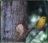 Prothonotary warbler at nest . (Photographer: Vance Polton)