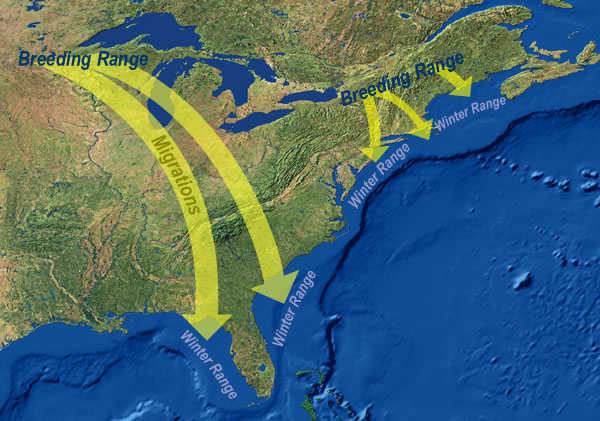 common loon range. Loon Breeding range (map)